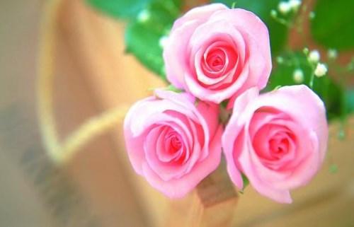 花草盆景石家庄绣球送过上们重磅优惠来袭 红牡丹物有所值