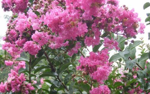 云南古树紫薇花联系方式 优质薰衣草送货上门 给力花卉世界