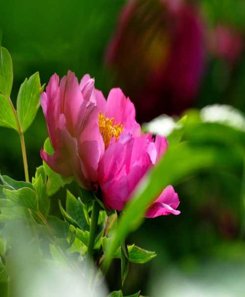 白牡丹栽培 多彩蔷薇 给力花卉世界