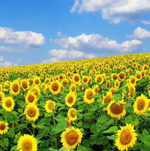 呼和浩特向日葵油 新鲜龙胆养殖栽培 给力花卉世界