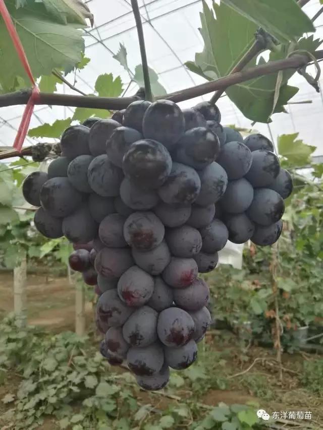 七星女皇葡萄苗品种多少钱 新品种葡萄苗价格 昌黎县瑞洋葡萄种苗有限公司
