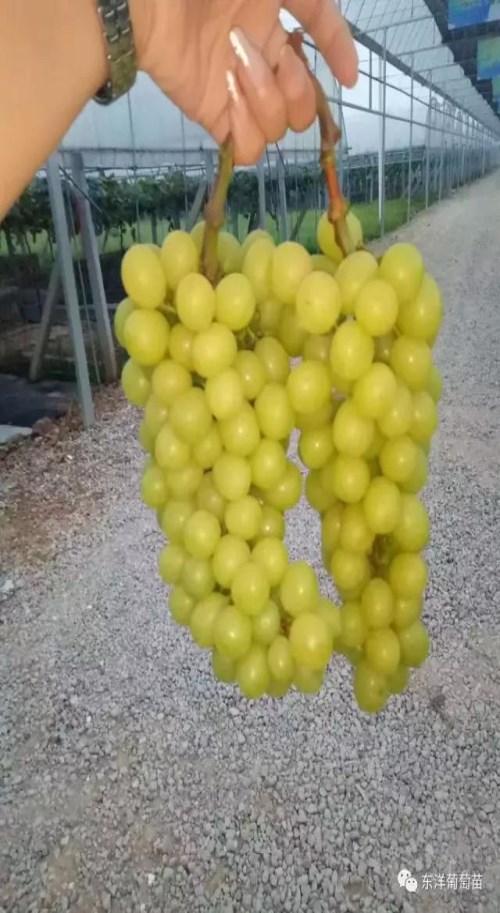 香妃葡萄苗品种批发-葡萄苗价格-昌黎县瑞洋葡萄种苗有限公司