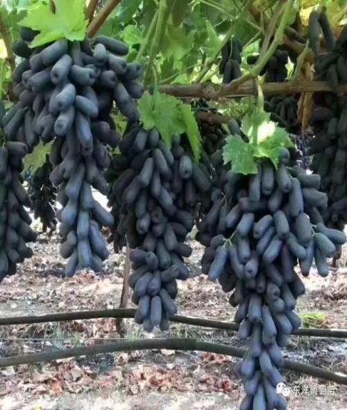 昌黎县瑞洋葡萄种苗有限公司